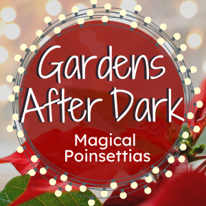 Gardens After Dark - Poinsettia