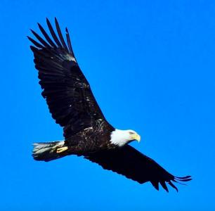 Mercer Lake Bald Eagle 1