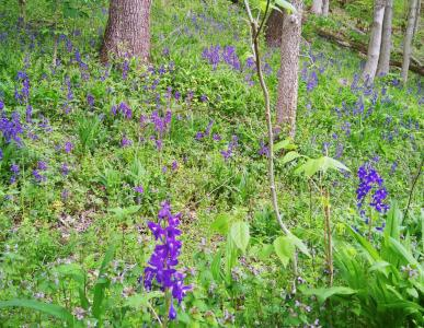 Purple flowers dot the hillside along a section of trail at Charlestown State Park.