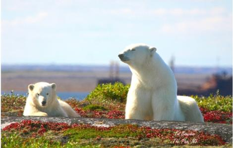 Polar bear viewing at a Churchill Nature Tour