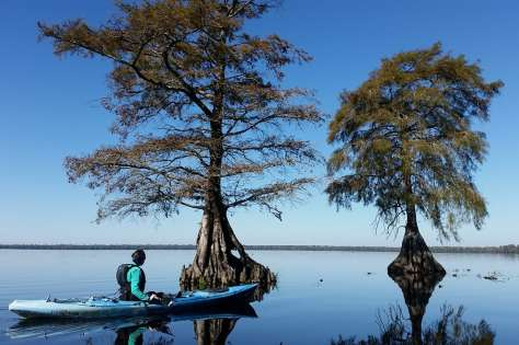 Canoeist on still waters approaching two trees in Lake Drummond