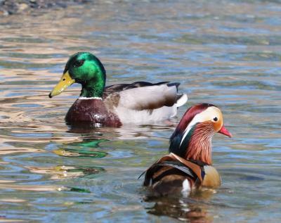 Mallard duck and Mandarin duck together