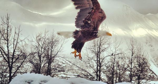 A bald eagle takes flight in Valdez, Alaska. Mountains in background.