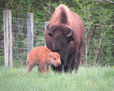 mother bison with her calf at big bone lick state historic park in union, Kentucky