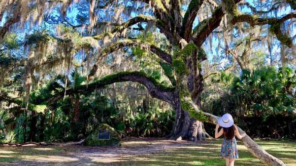 The majestic Fairchild Oak in Bulow Creek State Park