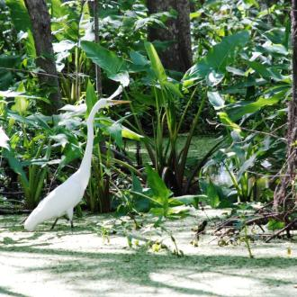 A Great Egret bird at the Pearl River National Wildlife Refuge