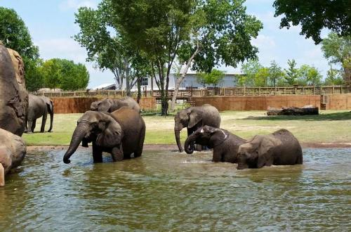 Several elephants of the Zambezi River Valley take a swim at the Sedgwick County Zoo