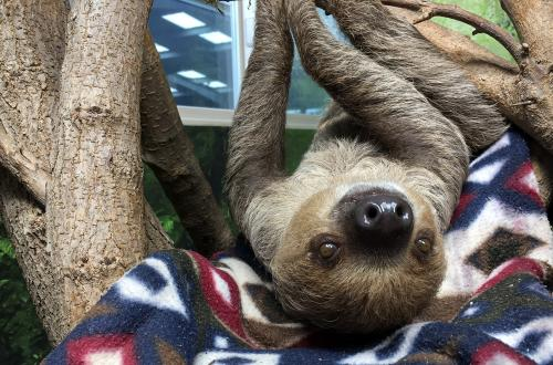 Chewbacca hangs upside down from a tree and poses for the camera at Tanganyika Wildlife Park near Wichita