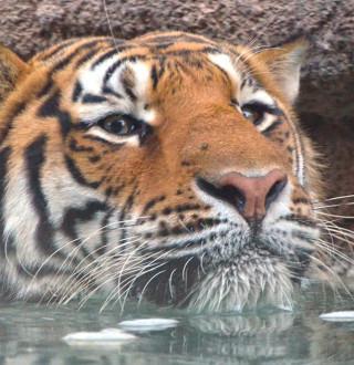 Tiger swimming at Utah's Hogle Zoo