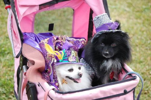 Dogs don their best Mardi Gras gear in time for the celebrations.