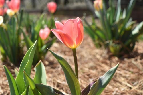 Biltmore Blooms Tulip
