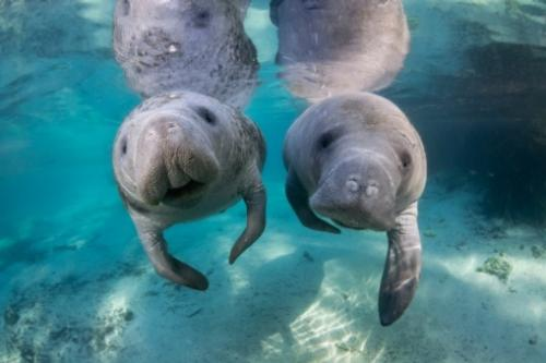 Two manatees are pictured in the clear and pristine water of Blue Spring State Park.