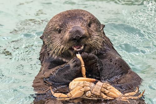 Otter at SeaWorld San Diego