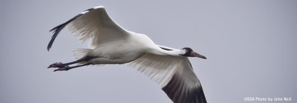 banner-crane-flying-JohnNoll