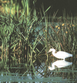 Snowy Egret in Arcata Marsh