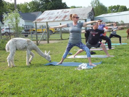 Montrose Farm, Alpacas, yoga, Alpaca yoga