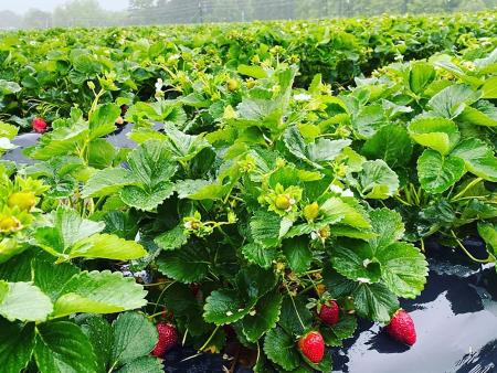 Strawberry field ripe for picking at Pace Farms in Johnston County, NC.
