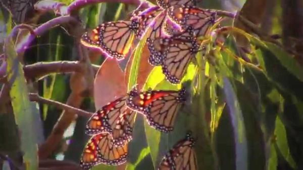 Video Thumbnail - youtube - Monarchs Butterflies of Pacific Grove, Ca