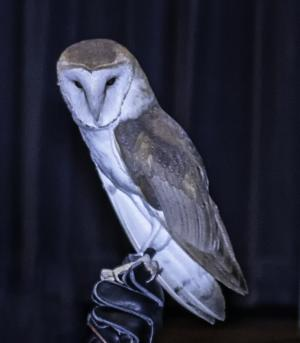 GCV&M Owl