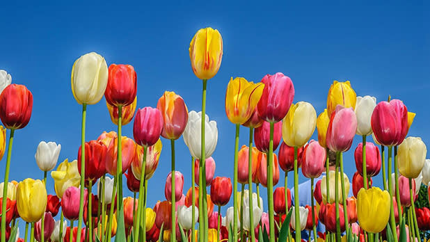 White, yellow, red and pink tulips
