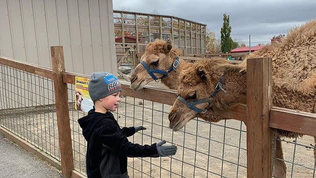 A boy holds his hand out as two camels look on