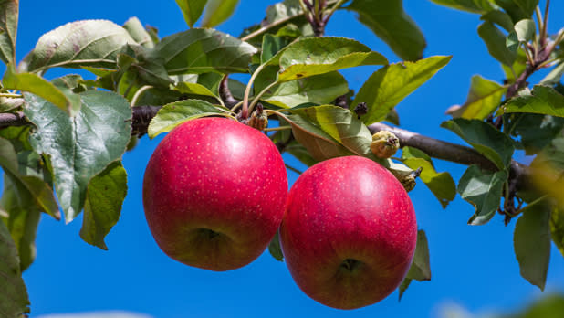 A pair of apples hang from a tree at Indian Ladder Farms