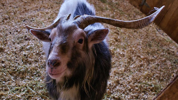 Goat with long horns
