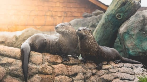 Two otters on rocks