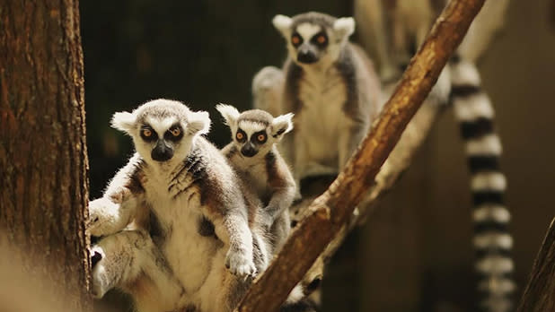Lemurs on a branch