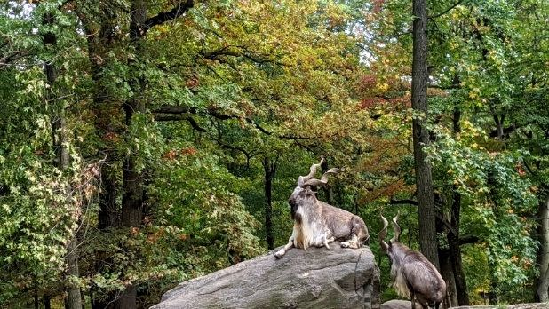 A horned animal at the Bronx Zoo