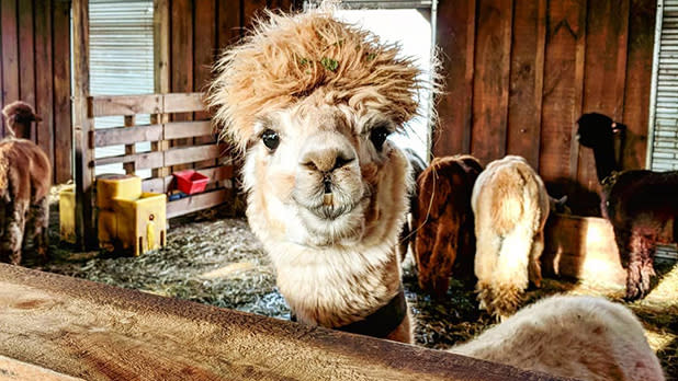 An alpaca looks straight at the camera