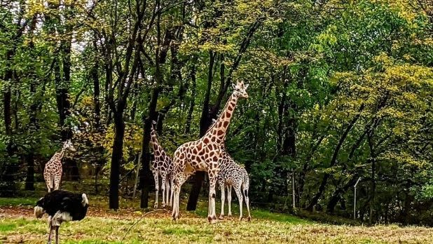 giraffes in a field at the Bronx Zoo