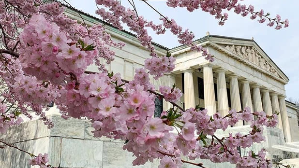 Cherry blossoms on a tree with a white-columned building in the background