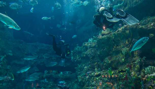 Divers in the NC Aquarium at Fort Fisher