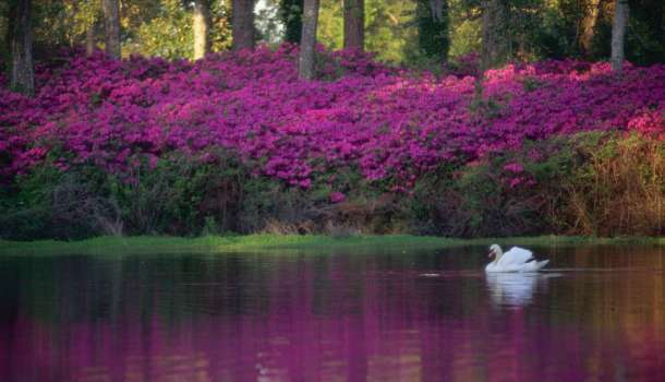 Swan swims on a lake with azaleas in the background