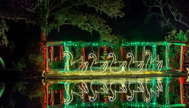 Enchanted Airlie Swans