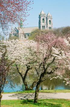 Cherry Blossom, Branch Brook, Newark Park