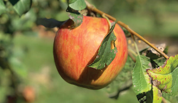 Close up of a Fair Oaks Farm Orchard apple on a branch