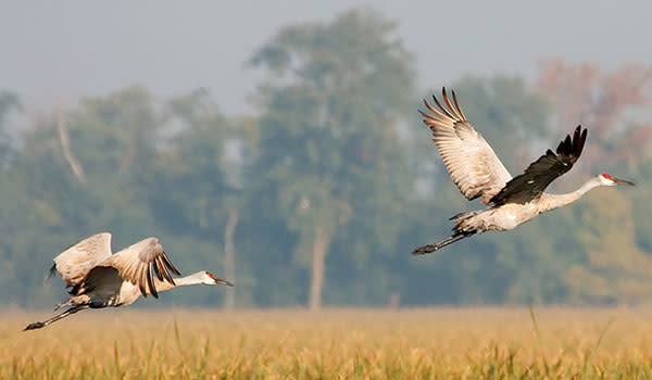 Two Sandhill Cranes flying away by Jasper Pulaski