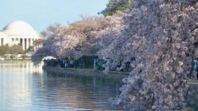 2019 Cherry Blossom Festival Dc Hotels Parking More Fairfax