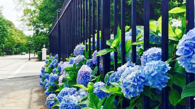 Summer Hydrangea on Bellevue Avenue