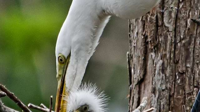 Mother and baby Egrets in nest