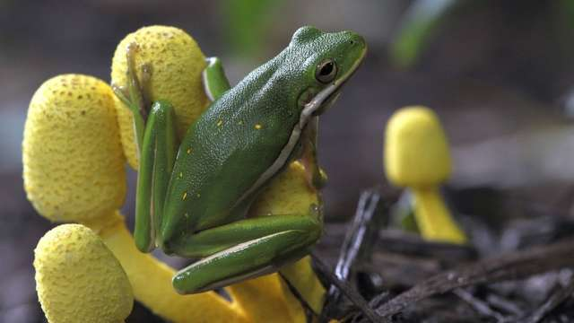Green frog on yellow plant
