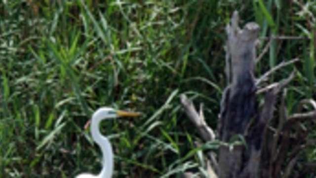 Neches Egret