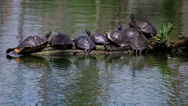 Turtles on a log at Shangri La