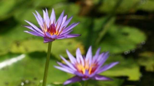Buu Mon Lotus Flowers