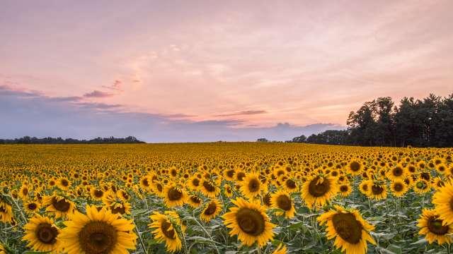 Sunflowers Hessrd2200
