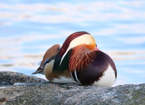 Mandarin sleeping