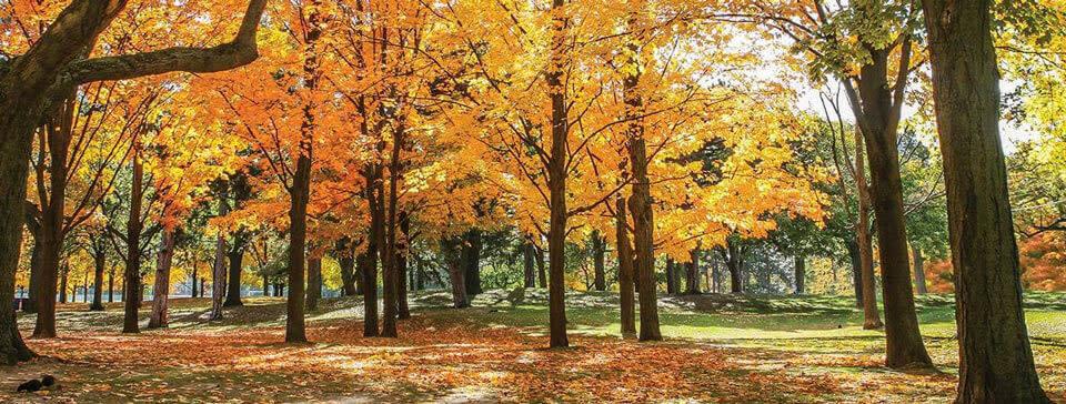 Golden Fall Leaves in Toronto