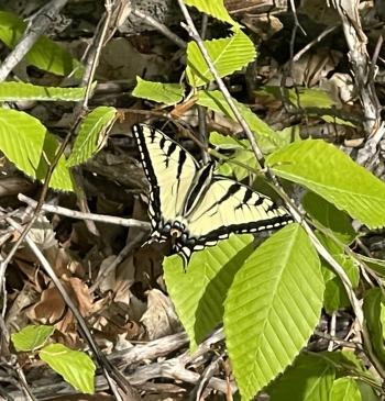 Swallowtail at Alligator Hill